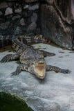 Ένας κροκόδειλος ανοίγει το στόμα του Στοκ εικόνες με δικαίωμα ελεύθερης χρήσης