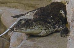 Ένας κροκόδειλος ξαπλώνει και κοιτάζει ήρεμα στο κλουβί Στοκ εικόνες με δικαίωμα ελεύθερης χρήσης