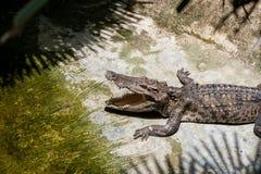 Ένας κροκόδειλος basks στο έδαφος κάτω από τη σκιά των φοινικών που ανοίγουν την τρύπα Αγρόκτημα κροκοδείλων στην Ταϊλάνδη, στο ν Στοκ Φωτογραφίες