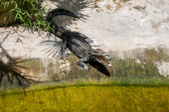 Ένας κροκόδειλος basks στο έδαφος κάτω από τη σκιά των φοινικών που ανοίγουν την τρύπα Αγρόκτημα κροκοδείλων στην Ταϊλάνδη, στο ν Στοκ Εικόνες