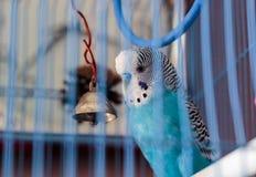 Ένας κυματιστός παπαγάλος σε ένα κλουβί στοκ εικόνα