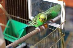 Ένας κυματιστός παπαγάλος στο πράσινο χρώμα στοκ εικόνες με δικαίωμα ελεύθερης χρήσης