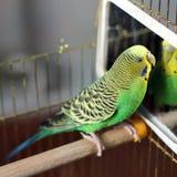 Ένας κυματιστός παπαγάλος στο πράσινο χρώμα στοκ εικόνα