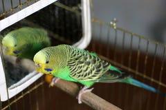 Ένας κυματιστός παπαγάλος στο πράσινο χρώμα στοκ φωτογραφία με δικαίωμα ελεύθερης χρήσης