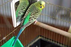 Ένας κυματιστός παπαγάλος στο πράσινο χρώμα στοκ εικόνες