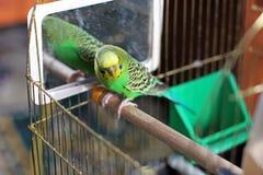 Ένας κυματιστός παπαγάλος στο πράσινο χρώμα στοκ φωτογραφία