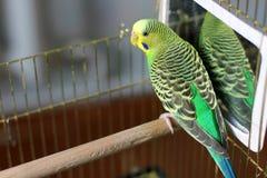 Ένας κυματιστός παπαγάλος στο πράσινο χρώμα στοκ φωτογραφίες