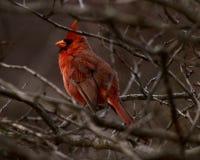 Ένας κόκκινος καρδινάλιος Στοκ εικόνα με δικαίωμα ελεύθερης χρήσης