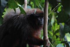 Ένας κόκκινος πίθηκος Titi Στοκ Φωτογραφίες