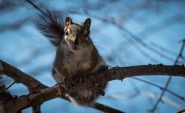 Ένας κόκκινος σκίουρος με ακολουθεί γύρω όπου ζει στα ξύλα κοντά σε ένα εξοχικό σπίτι Στοκ Φωτογραφίες