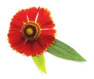 Ένας κόκκινος chamomile στοκ φωτογραφία με δικαίωμα ελεύθερης χρήσης
