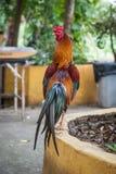 Ένας κόκκορας γνωστός επίσης ως cockerel ή κοκκόρων ταϊλανδικός ναός Όμορφος ζωηρόχρωμος αρσενικός ταϊλανδικός κόκκορας που περπα στοκ εικόνες