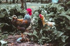 Ένας κόκκορας και ένα κοτόπουλο Στοκ Φωτογραφίες