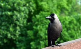 Ένας κόρακας είναι ένα πουλί του γένους Corvus, ή είναι ευρεύτερα ένα συνώνυμο για το όλο Corvus στοκ φωτογραφία με δικαίωμα ελεύθερης χρήσης