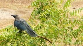 Ένας κόρακας υγρός στη συνεδρίαση βροχής σε ένα κούνημα δέντρων neem αφαιρεί μέχρι το νερό απόθεμα βίντεο