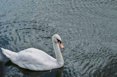 Ένας κύκνος είναι μια τοπ άποψη Στοκ εικόνα με δικαίωμα ελεύθερης χρήσης