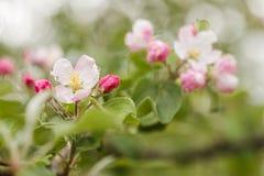 Ένας κλάδος με τα ρόδινα λουλούδια του άγριου δέντρου μηλιάς Στοκ Εικόνα