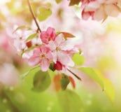 Ένας κλάδος με χλωμό - ρόδινα λουλούδια του δέντρου της Apple Στοκ Εικόνες
