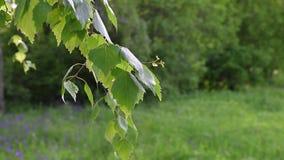 Ένας κλάδος της σημύδας με τα φύλλα φιλμ μικρού μήκους