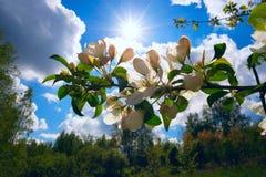 Ένας κλάδος της Apple ανθίζει ενάντια στο μπλε ουρανό και τον ήλιο Στοκ Εικόνα