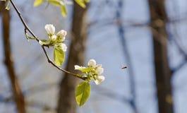 Ένας κλάδος της Apple ανθίζει, πετώντας προς την λίγη μέλισσα Στοκ φωτογραφία με δικαίωμα ελεύθερης χρήσης