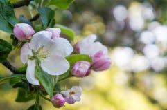 Ένας κλάδος της Apple ανθίζει την πρώιμη άνοιξη Στοκ Φωτογραφία