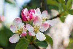 Ένας κλάδος της Apple ανθίζει την πρώιμη άνοιξη Στοκ Φωτογραφίες