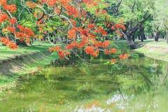 Ένας κλάδος του επιδεικτικού δέντρου με τα κόκκινα λουλούδια πέρα από τον ποταμό Στοκ Φωτογραφίες