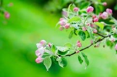 Ένας κλάδος των ανθίζοντας δέντρων της Apple στην άνοιξη, κινηματογράφηση σε πρώτο πλάνο Στοκ Φωτογραφίες
