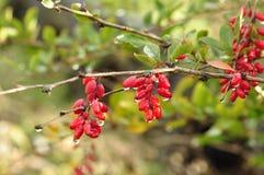 Ένας κλάδος barberry. Στοκ φωτογραφία με δικαίωμα ελεύθερης χρήσης