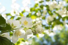 Ένας κλάδος jasmine σε ένα φυσικό θολωμένο υπόβαθρο Στοκ Εικόνες