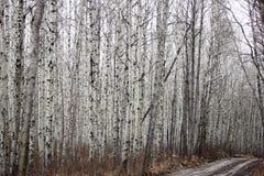 Ένας λασπώδης δρόμος σε ένα δάσος σημύδων Στοκ Φωτογραφίες
