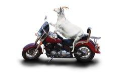 Ένας λευκός ποδηλάτης αιγών κάθεται σε μια όμορφη μοτοσικλέτα στοκ εικόνες