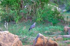 Ένας λοφιοφόρος αετός γερακιών κάθεται σε έναν κλαδίσκο στην πράσινη ζούγκλα του Yala Nationalpark Στοκ Φωτογραφίες