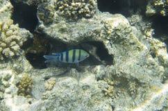 Ένας λοχίας ψαριών στο κοράλλι Στοκ φωτογραφία με δικαίωμα ελεύθερης χρήσης