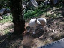 Ένας λύκος στοκ εικόνες