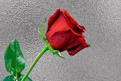 Ένας μακροχρόνιος μίσχος κόκκινος αυξήθηκε στο ασημένιο κλίμα φύλλων αλουμινίου στοκ εικόνες
