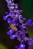 Μέλισσα που συλλέγει τη γύρη από τη φασκομηλιά mealy-φλυτζανιών Στοκ Φωτογραφίες