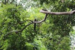 Ένας μαύρος γιγαντιαίος σκίουρος στον κλάδο στοκ εικόνα