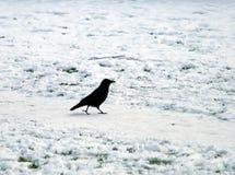 Ένας μαύρος κόρακας που περπατά κατά μήκος μιας χιονισμένης πορείας Στοκ Εικόνες