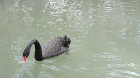 Ένας μαύρος κύκνος κολυμπά σε μια λίμνη την άνοιξη απόθεμα βίντεο