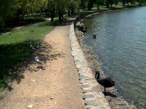 Ένας μαύρος κύκνος που κολυμπά σε μια λίμνη απόθεμα βίντεο
