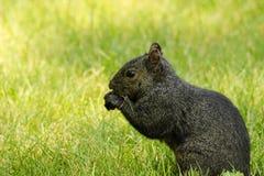 Ένας μαύρος σκίουρος τρώει στη χλόη στοκ εικόνες