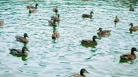 Ένας μεγάλος αριθμός παπιών κολυμπά στη λίμνη Η οικογένεια των παπιών επιπλέει ενεργά στην επιφάνεια του νερού, χαμήλωμα φιλμ μικρού μήκους