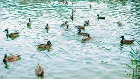 Ένας μεγάλος αριθμός παπιών κολυμπά στη λίμνη Η οικογένεια των παπιών επιπλέει ενεργά στην επιφάνεια του νερού, χαμήλωμα απόθεμα βίντεο
