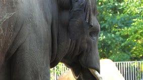 Ένας μεγάλος γκρίζος ελέφαντας πηγαίνει αργά σε έναν ζωολογικό κήπο μια ηλιόλουστη ημέρα το καλοκαίρι φιλμ μικρού μήκους