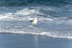 Ένας μεγάλος γλάρος που περπατά σύμφωνα με τη γραμμή κυματωγών θάλασσας στοκ εικόνα