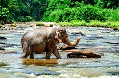 Ένας μεγάλος ελέφαντας με έναν αυξημένο κορμό περπατά κατά μήκος του ποταμού Ορφανοτροφείο ελεφάντων Pinnawala στοκ εικόνα με δικαίωμα ελεύθερης χρήσης