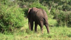 Ένας μεγάλος ελέφαντας με τους χαυλιόδοντες στο θάμνο απόθεμα βίντεο