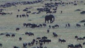 Ένας μεγάλος ελέφαντας που περπατά μεταξύ των wildebeests απόθεμα βίντεο